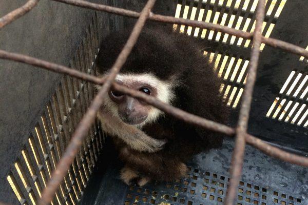 © Gibbon Protection Society