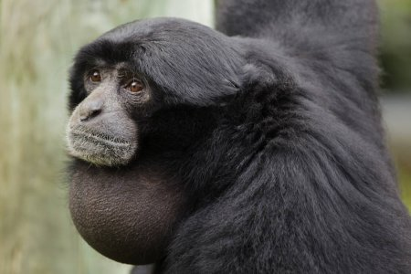 depositphotos_250275458-stock-photo-siamang-symphalangus-syndactylus